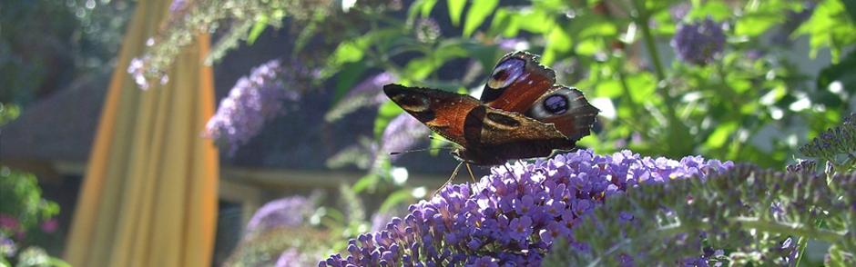Vlinder op een paarse bloemenstruik.